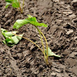 mj-0810-west-brabant-aarbei-planten-nieuwe-aardbeien-aanplant-2-large
