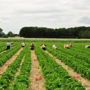 mj-0810-west-brabant-aardbeien-oogst-16-large